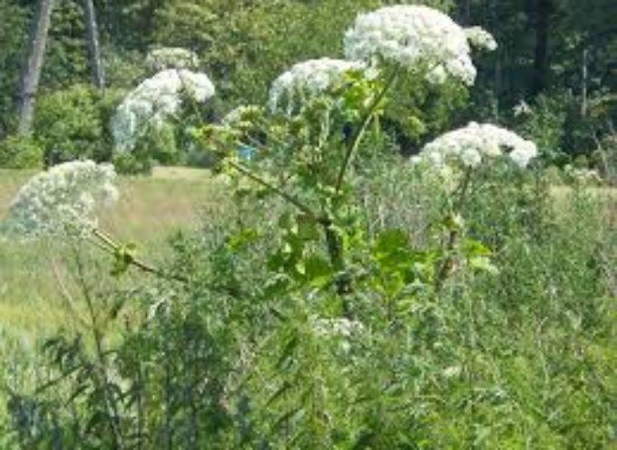 Barszcz Sosnowskiego rośnie przy Piaskach – aktualizacja