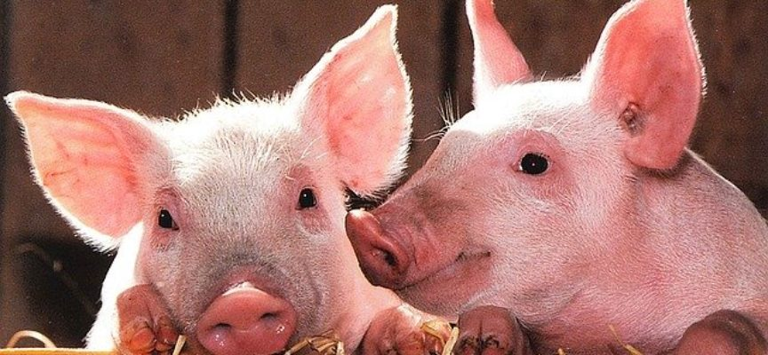 Afrykański pomór świń – nie ma żartów