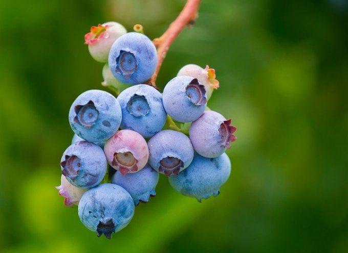 Groźne konsekwencje niemycia owoców leśnych