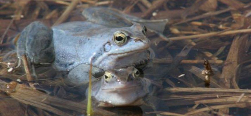 Nie ma już niebieskich żab przy Kozim Borku