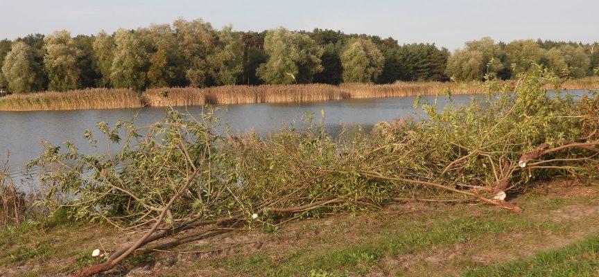 Mieszkańcy Ostrowa tracą kolejne drzewa
